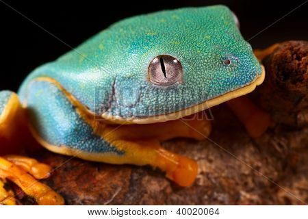 tree frog head tropical rainforest treefrog lives in Amazon rain forest of Panama,Costa Rica,Colombia and Ecuador Animal with bright colors red, blue,orange and green Cruziohyla calcarifer