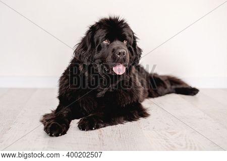 Newfoundland dog lying on floor indoors