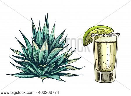 Cactus Blue Agave And Glass Tequila With Slice Lime. Vector Vintage Hatching Color Illustration. Iso