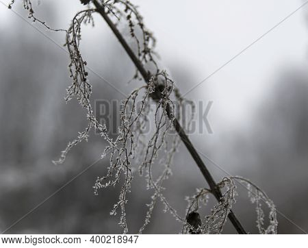 Small Ice Crystals On Dried Nettle Buds. Result Of Crystallization Of Moisture In The Air.