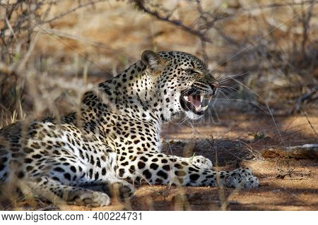 Leopard (panthera Pardus) Showing Teeth, Lying In The Bush. Kruger Park, South Africa