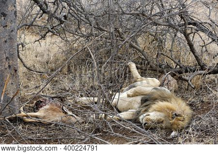 Lion, Male Lion, Lion King, Lion Resting, Lion Lying On Back, Lion Relaxing, Lion On His Back, Satis