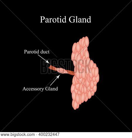 Parotid Salivary Gland. The Structure Of The Parotid Salivary Gland. Vector Illustration On Isolated