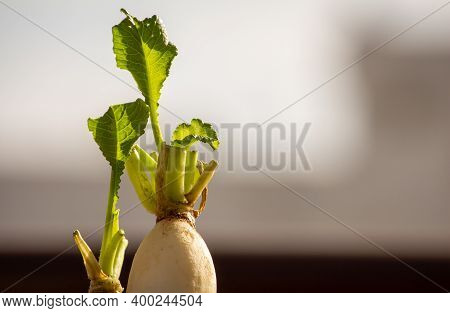 View Of The Daikon Radish And The Sprout Leaves