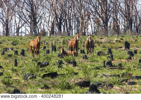 Wild Horses Standing And Laying In A Field Affected By Bushfire In The Central Tablelands Of Regiona