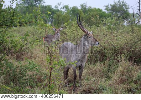 A Pair Of Eland Bulls  In The Kruger National Park . Antelope