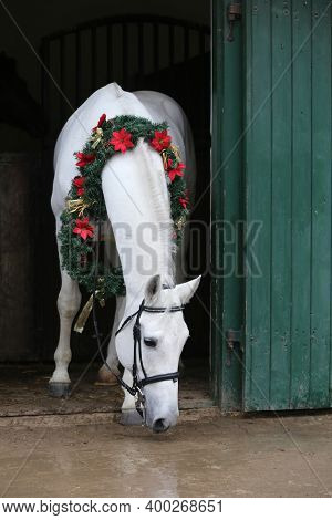 Adorable Young Arabian Horse With Festive Wreath Decoration In Stable Door. New Year And Christmas M