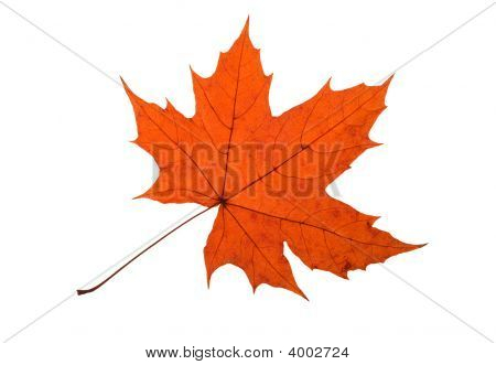 Maple Leave