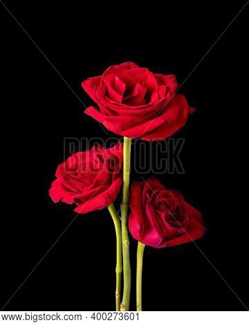 A Trio Of American Beauty Rose Blossoms Pictured Against A Black Background.