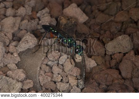 Emerald Cockroach Wasp Or Jewel Wasp (ampulex Compressa).