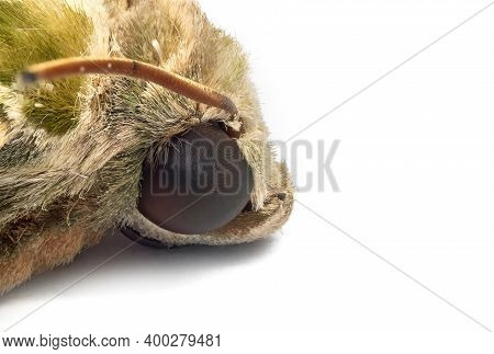 Macro Photography Of Head Of Oleander Hawk-moth Or Army Green Moth Isolated On White Background