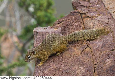Cute African Tree Squirrel (paraxerus Cepapi) Looking Over The Edge Of A Rock Thinking About Jumping