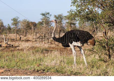 Solitary Male Common Ostrich (struthio Camelus) Standing Alone Alert In The Bushveld In Kruger Natio