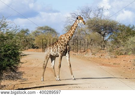 Solitary Adult Giraffe Crossing A Dirt Road Alone Under A Moody Sky In Kruger National Park, South A