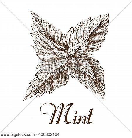 Hand Drawn Mint Leaves Isolated On White Background. Ink Sketch Of Mint Branch. Vector Illustration