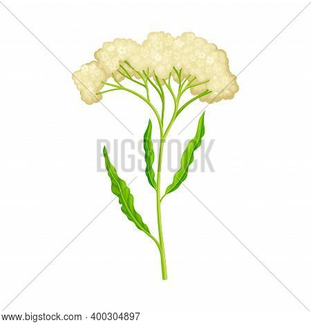 Wildflower Specie With Small Florets On Green Stalk Vector Illustration