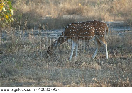 Female Chital Axis Axis Grazing. Bandhavgarh National Park. Madhya Pradesh. India.