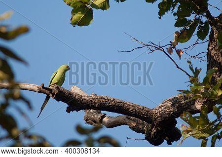 Female Rose-ringed Parakeet Psittacula Krameri. Bandhavgarh National Park. Madhya Pradesh. India.