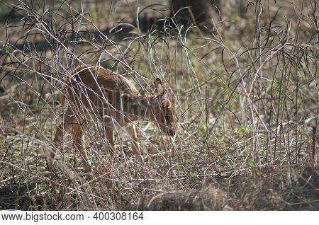 Cub Of Chital Among The Grass. Bandhavgarh National Park. Madhya Pradesh. India.
