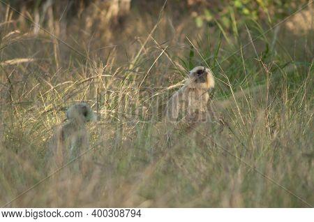 Northern Plains Gray Langurs Semnopithecus Entellus. Bandhavgarh National Park. Madhya Pradesh. Indi
