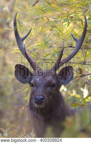 Head Of Sambar Stag Rusa Unicolor. Bandhavgarh National Park. Madhya Pradesh. India.