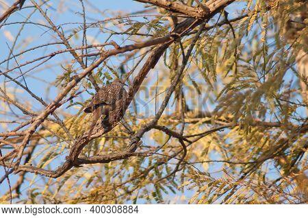 Spotted Dove Streptopelia Chinensis On A Branch. Bandhavgarh National Park. Madhya Pradesh. India.