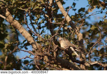 Spotted Doves Streptopelia Chinensis On A Branch. Bandhavgarh National Park. Madhya Pradesh. India.