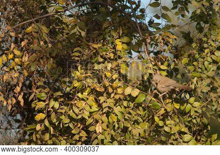 Jungle Babbler Turdoides Striatus On A Branch. Bandhavgarh National Park. Madhya Pradesh. India.
