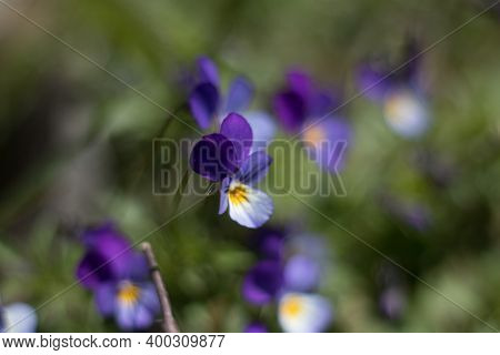 Violets In A Green Meadow
