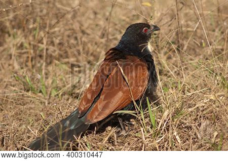 Greater Coucal Centropus Sinensis In The Tall Grass. Bandhavgarh National Park. Madhya Pradesh. Indi