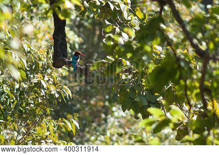 White-throated Kingfisher Halcyon Smyrnensis On A Branch. Bandhavgarh National Park. Madhya Pradesh.