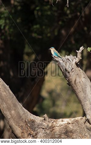 Indian Roller Coracias Benghalensis Indicus. Bandhavgarh National Park. Madhya Pradesh. India.