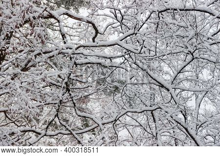Trees Branches Covered With Newly-fallen Fluffy Snow On A Background Of Sky, Fragment, Background
