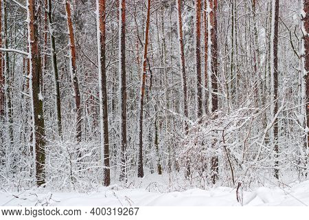 Trunks And Branches Of The Conifers And Deciduous Trees And Shrubs Covered With Newly-fallen Fluffy