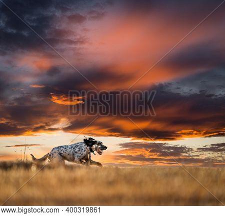 Pointer Pedigree Dog Running Over The Horizon
