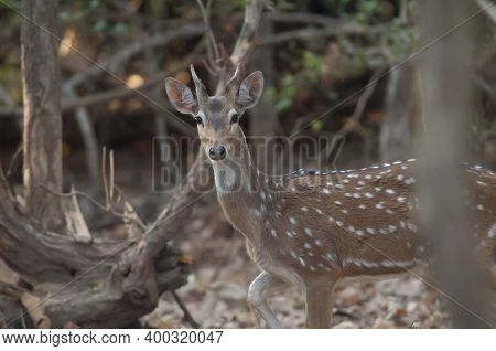 Young Male Of Chital Axis Axis. Gir Sanctuary. Gujarat. India.