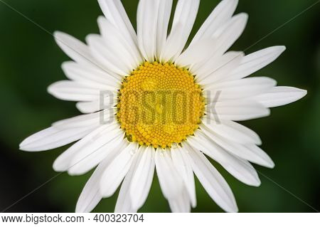 Close-up Detail View Of Beautiful Blossoming Yellow And White Chamomile Flower With Rain Or Dew Drop