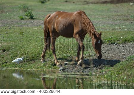 Horse Equus Ferus Caballus And Cattle Egret Bubulcus Ibis. Hiran River. Sasan. Gir Sanctuary. Gujara