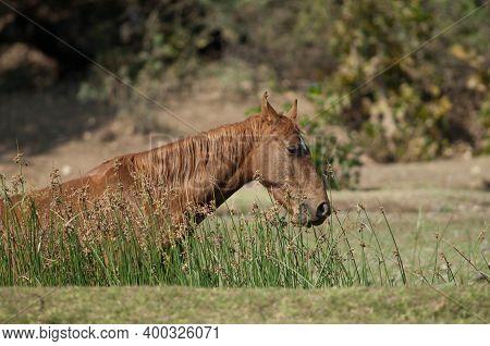 Horse Equus Ferus Caballus Eating In The Riverside Of The Hiran River. Sasan. Gir Sanctuary. Gujarat