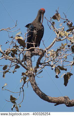 Red-naped Ibis Pseudibis Papillosa Preening On A Tree Branch. Hiran River. Sasan. Gir Sanctuary. Guj