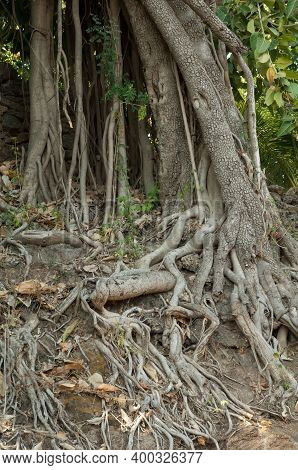 Trunk And Aerial Roots Of A Fig Tree Ficus Sp. Gujarat. India.