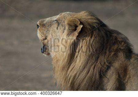 Male Asiatic Lion Panthera Leo Persica Roaring. Devalia. Gir Sanctuary. Gujarat. India.