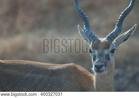 Male Blackbuck Antilope Cervicapra In Devalia. Gir Sanctuary. Gujarat. India.