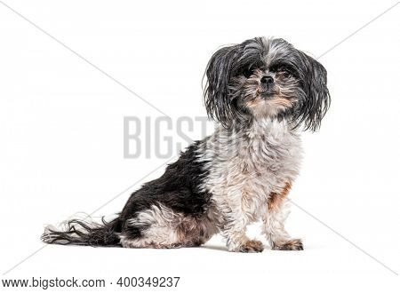 Old, dirty and Shaggy Shih Tzu dog, Isolated
