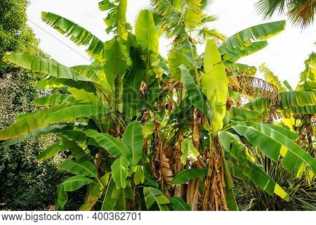 Palm Leaves In A Park In The Tropics. Vegetation In The Subtropics And Tropics.