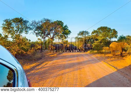 South Africa. Herd of elephants crosses the road led by an old leader. Gold sunset in the Kruger Park. Animals live and move freely in the savannah. The concept of exotic and photo tourism