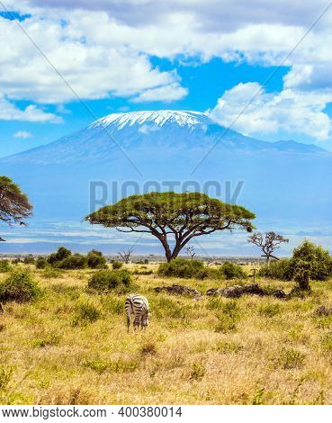 Lone zebra grazes in the African savannah at the foot of Kilimanjaro. Southeast Kenya, the Amboseli park, desert acacia. Trip to the Horn of Africa