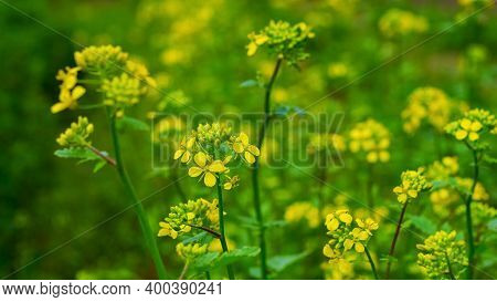 Mustard Blossoms. Yellow Mustard Flowers In The Field