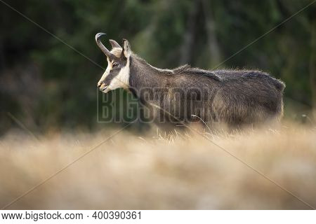 Endangered Tatra Chamois Walking On Dry Grass In Autumn Nature