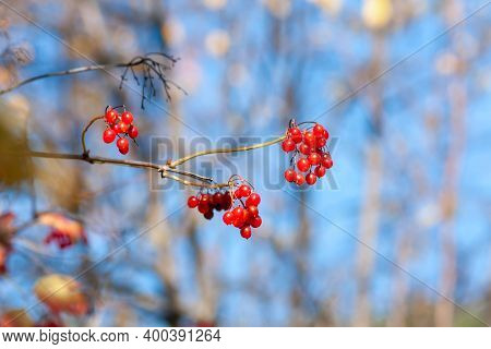 Ripe Viburnum Berries On A Branch On An Autumn Sunny Day (viburnum Opulus). Close-up On Blue Sky Bac